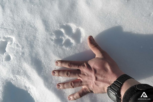 Polar bear footprint in Arctic