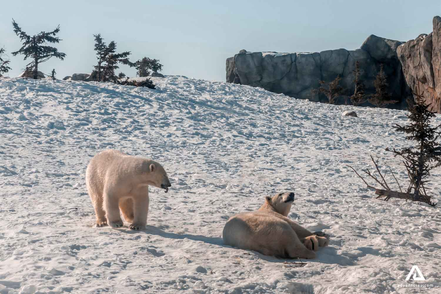 White bears laying on the snow