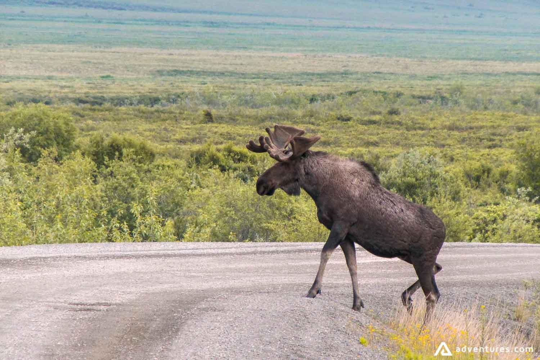Moose crossing road