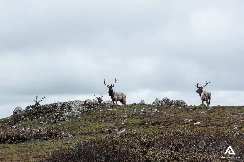 Reindeer viewing