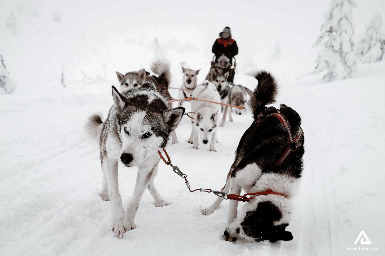 Funny husky dogs