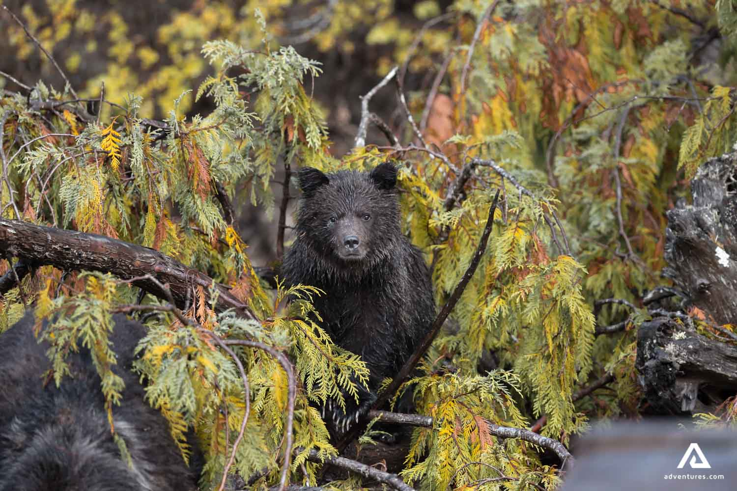 Bear cub merged with the tree