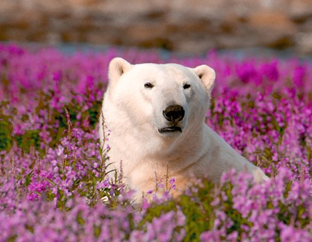 Birds, beluga whales & polar bears - Wildlife watching