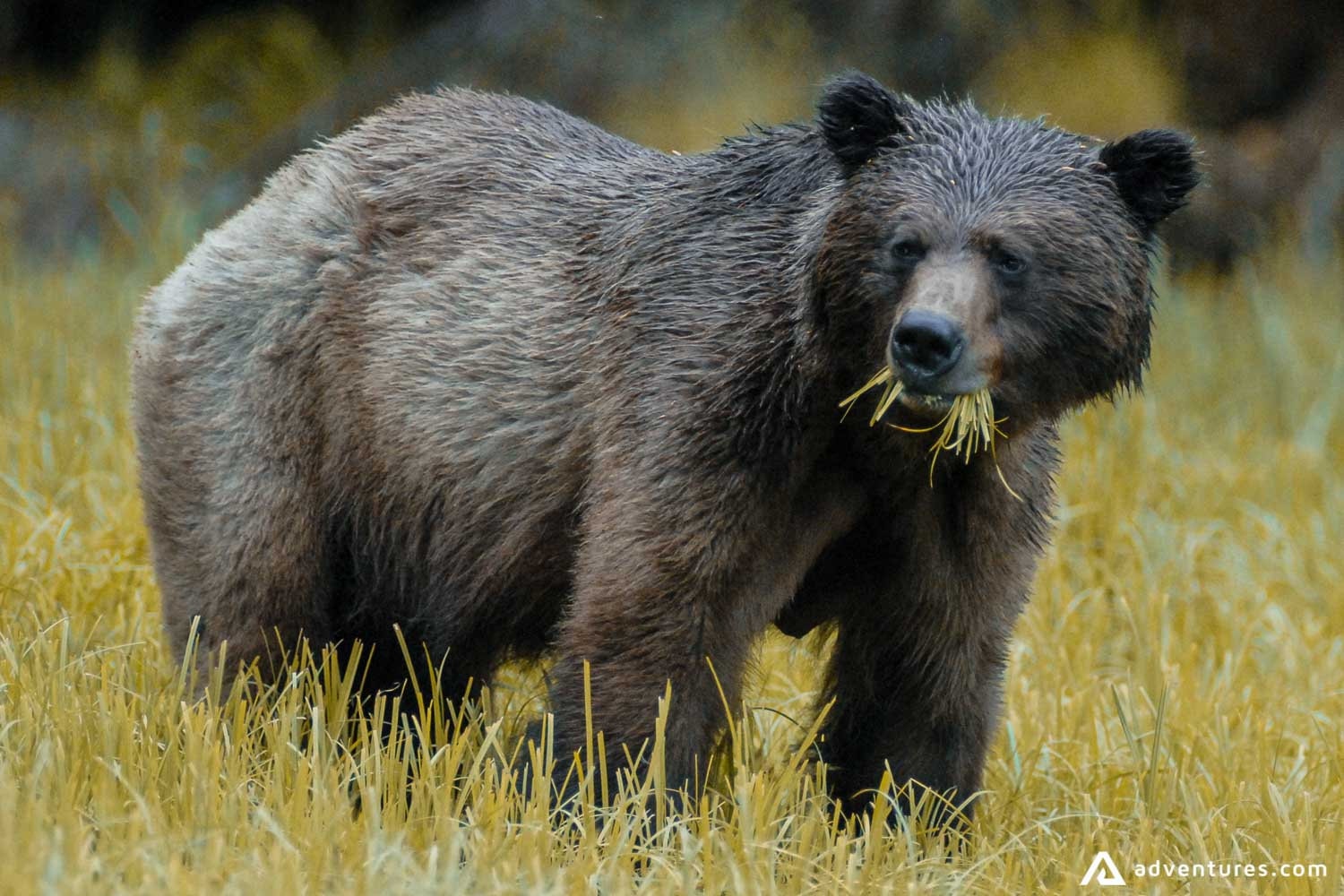 Brown grizzly bear eating grass