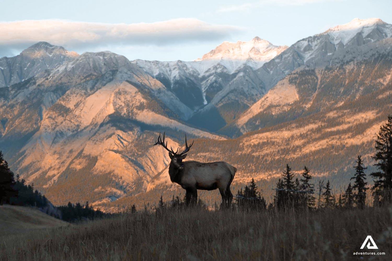 Caribou reindeer watching