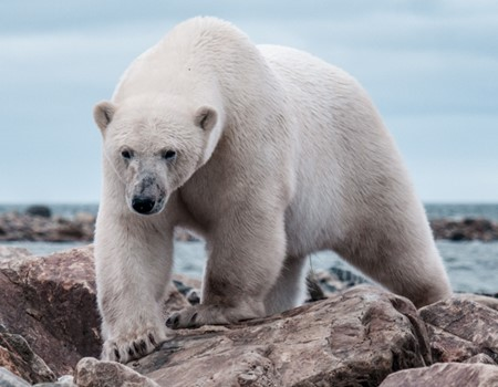 View polar bears from a lodge on the Hudson Bay