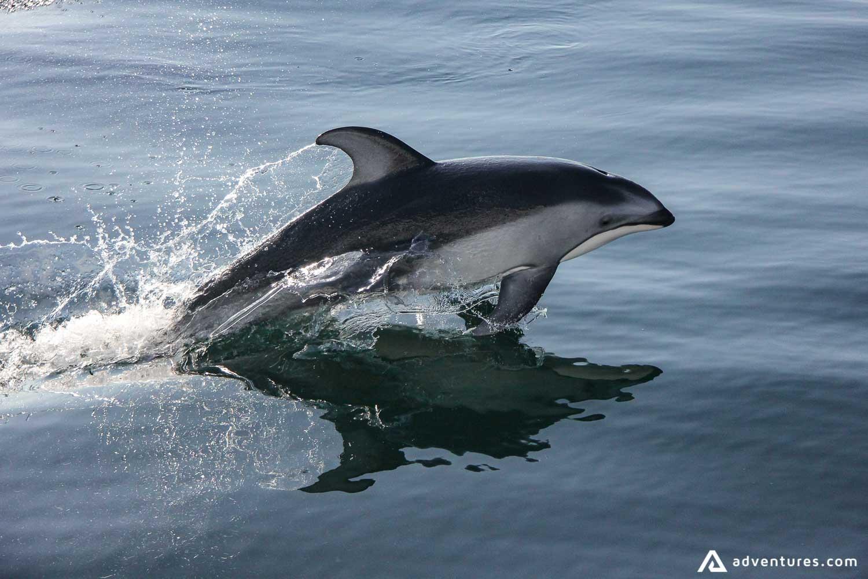 Dolphin in Canada