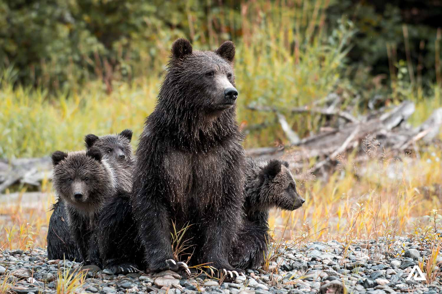 Grizzly bear with a cubs