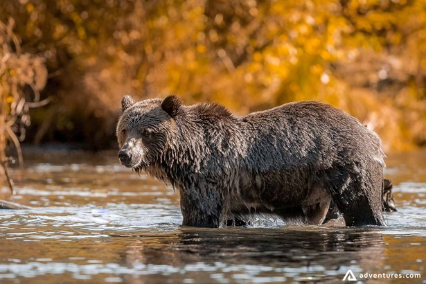 Bear taking a shower in a river