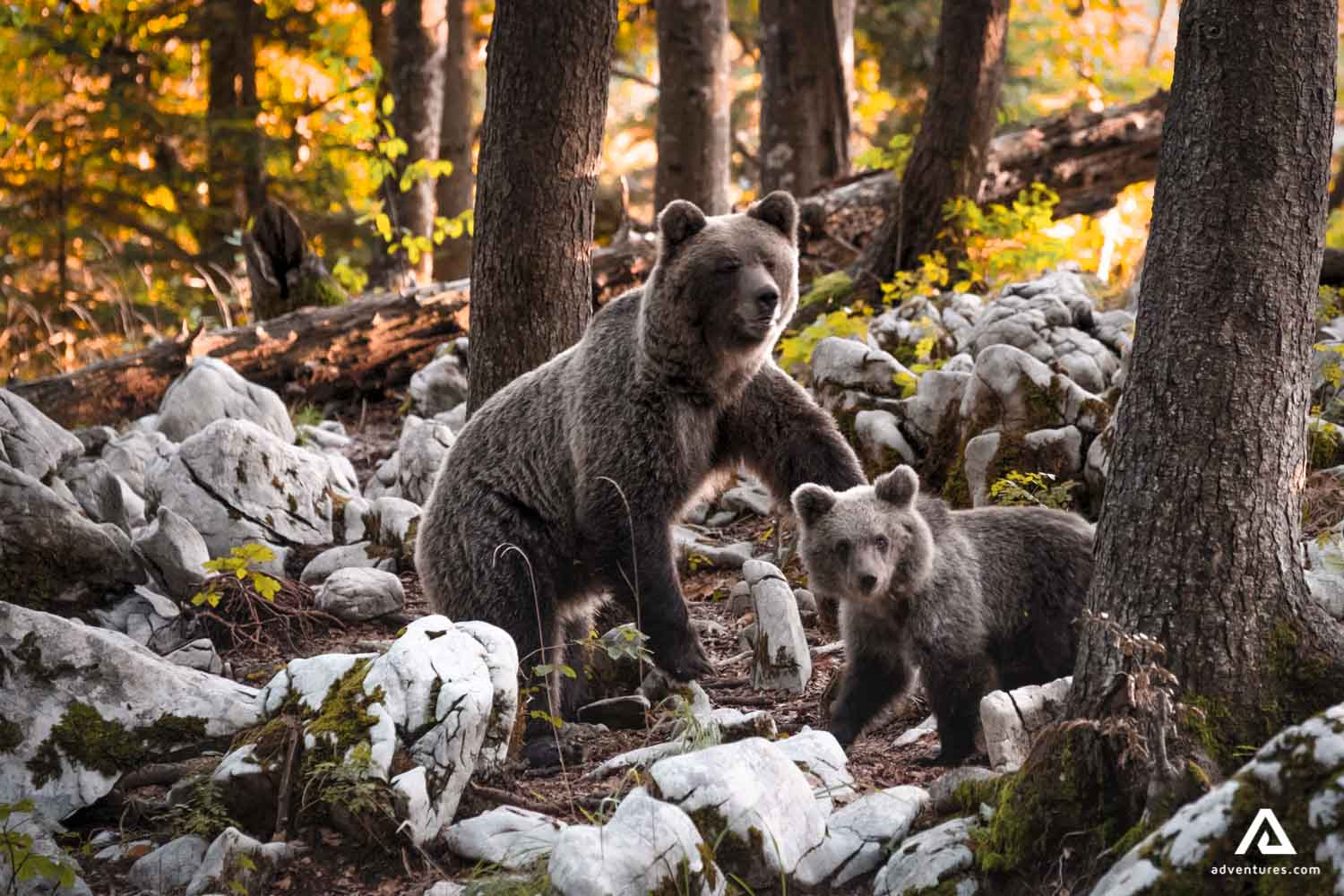Bear cub with mother in the forest