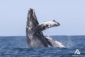 Whale Watching in Iceland | Ultimate Guide | Extreme Iceland