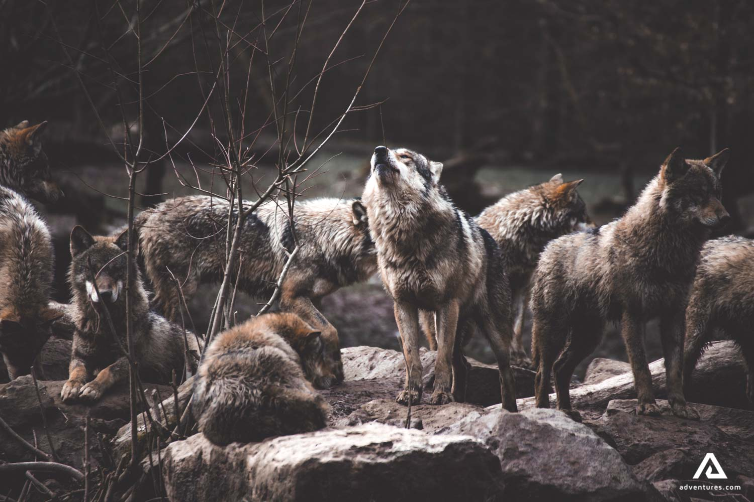Herd of wolves howling