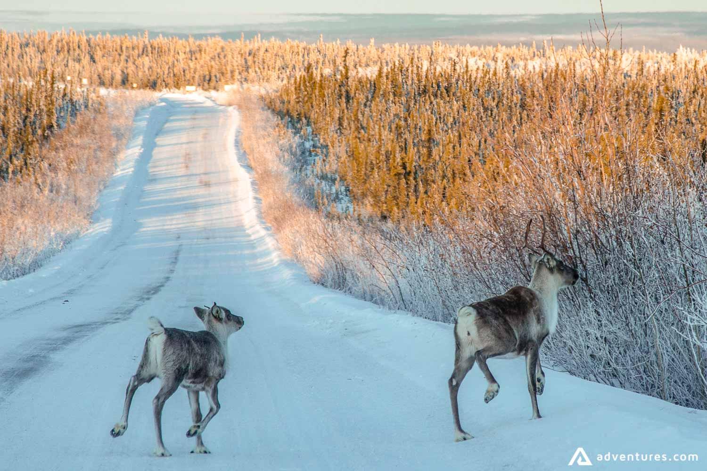 Caribou crossing snowy road