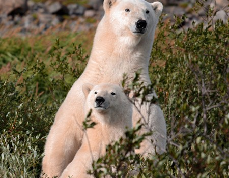 Polar bear and caribou viewing on an arctic safari tour