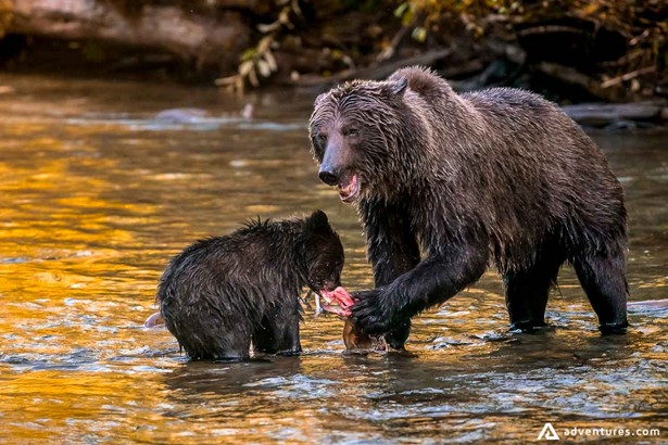 Grizzly bear and cub in the river