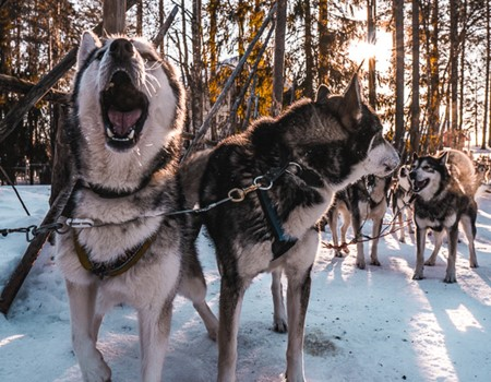 Dog-sledding tour in the Laurentians north of Montreal