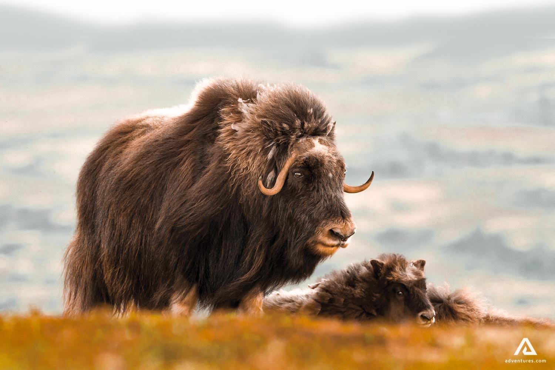 Muskox wildlife