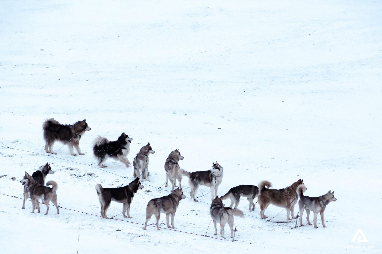 Husky Dog Gang