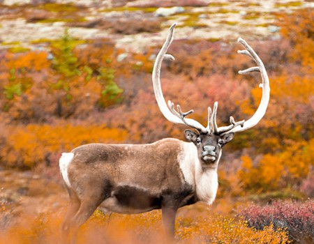 Autumn Caribou Migration & Northern Lights