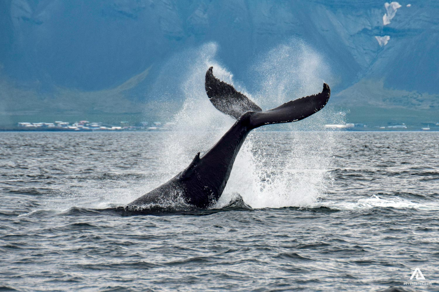 Whales often rise their fluke - the tail - in the air before descending back down