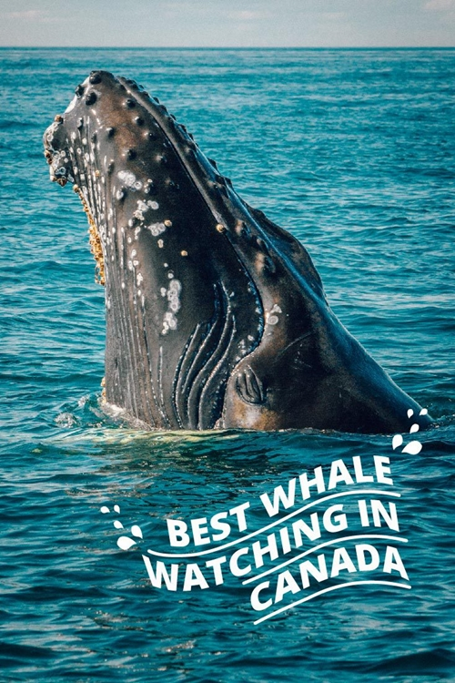 Best Whale Watching In Canada