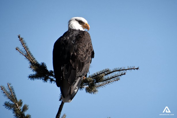 Bald eagle watching in Canada