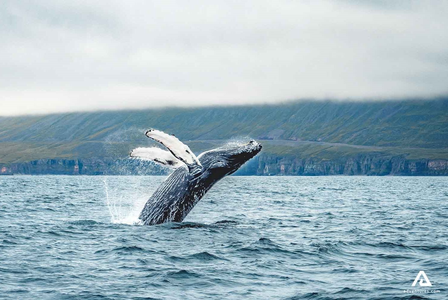 jumping whale iceland