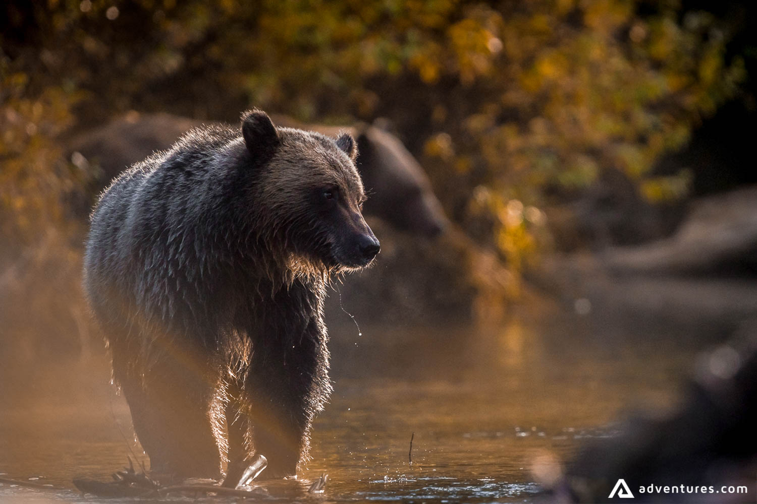 Bear walking on the river