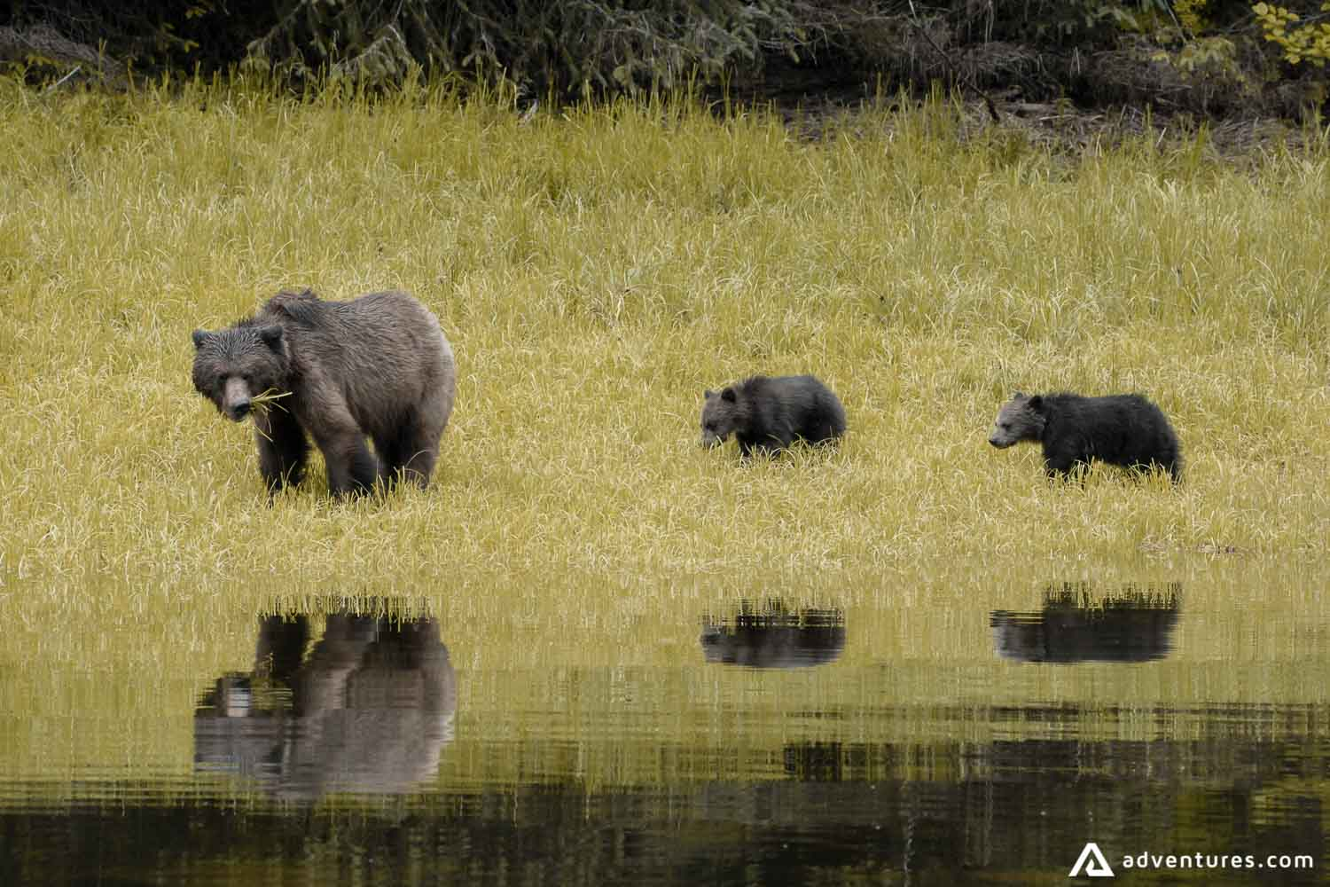 Grizzly bears eating grass