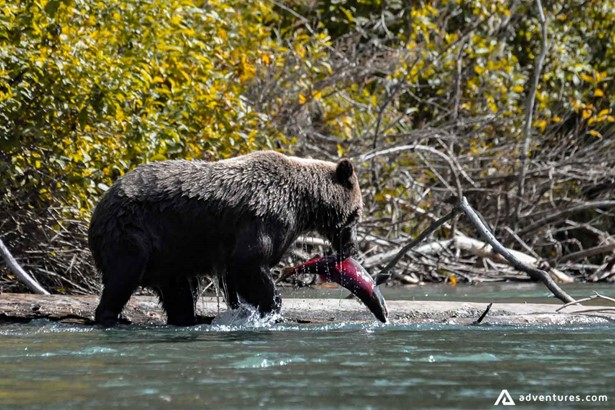 Grizzly Bear Catches Salmon
