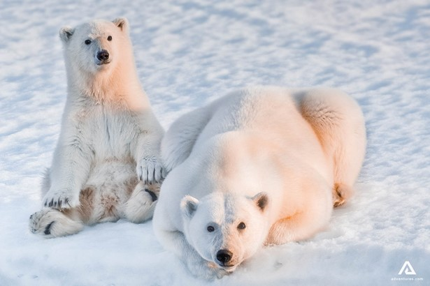 Polar bears watching