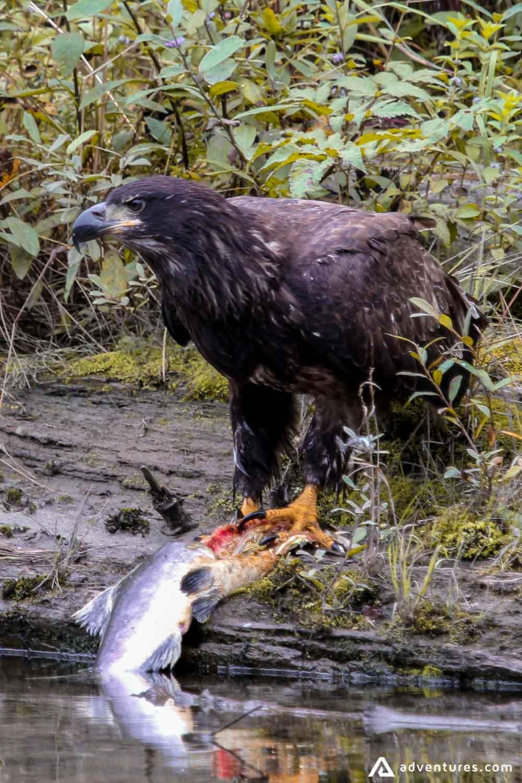 Bald-eagle Catch The Fish