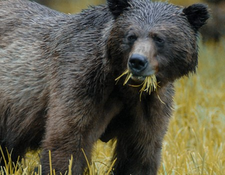 Search for grizzly bears, black bears and the rare Spirit Bear