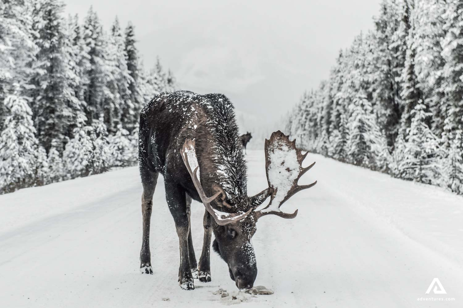 Moose On The Winter Road